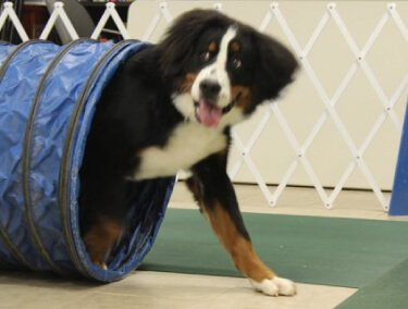 Dog walking out of a blue training tube as a part of an advanced training class